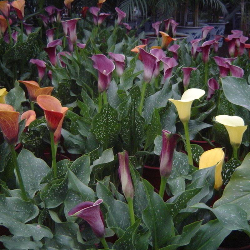 Calla Blüht Nicht : 2 birnen true calla lily zwiebeln calla zwiebeln nicht calla samen blume wurzel ebay ~ Watch28wear.com Haus und Dekorationen