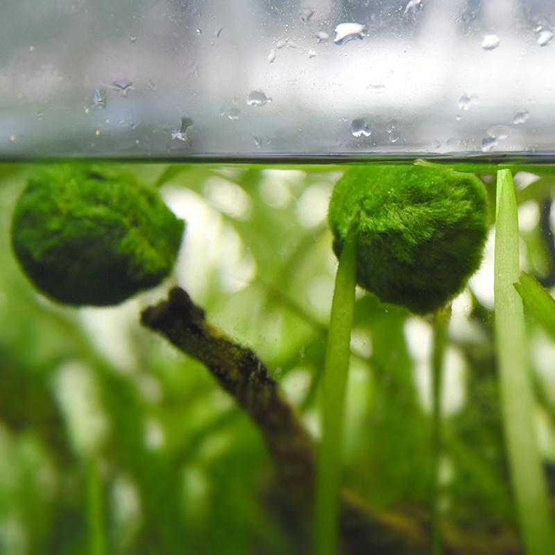Hot 3 4cm marimo moss balls cladophora live aquarium plant for Moss balls for fish tanks