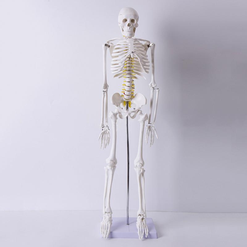 Medizin Leben Größe Mensch Anatomische Anatomie Skelett Medizinische ...