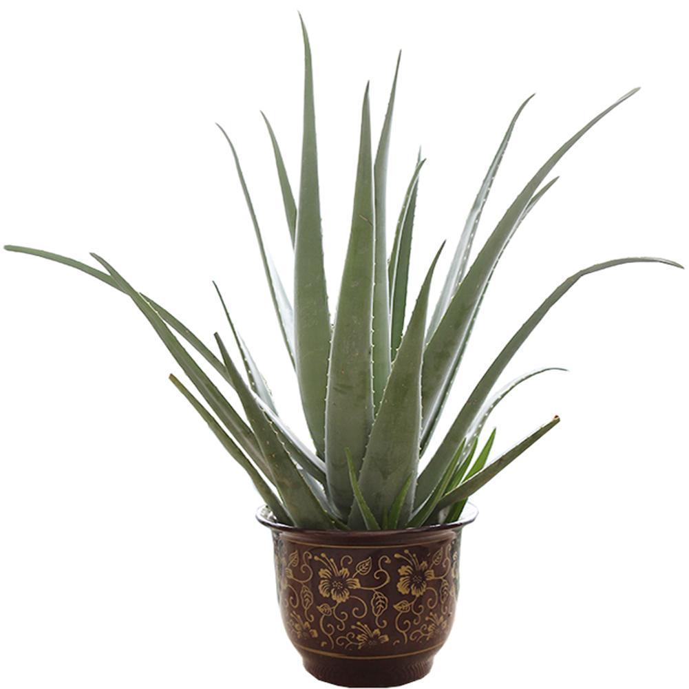 100 Seeds Aloe Vera Seeds Edible Succulent Plant Rare