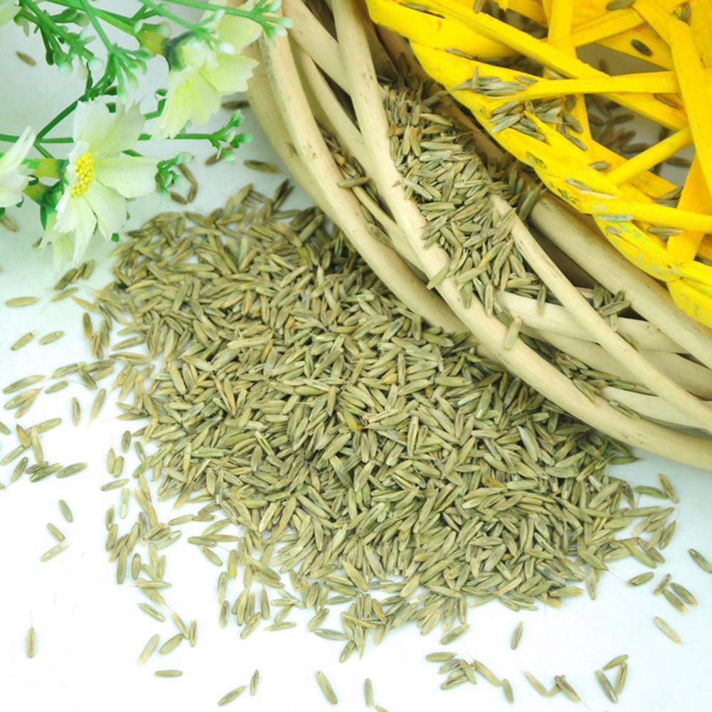 pack Blauschwingel Gras mehrjährige hardy ornamental-Ziergrä G1H8 100stk samen