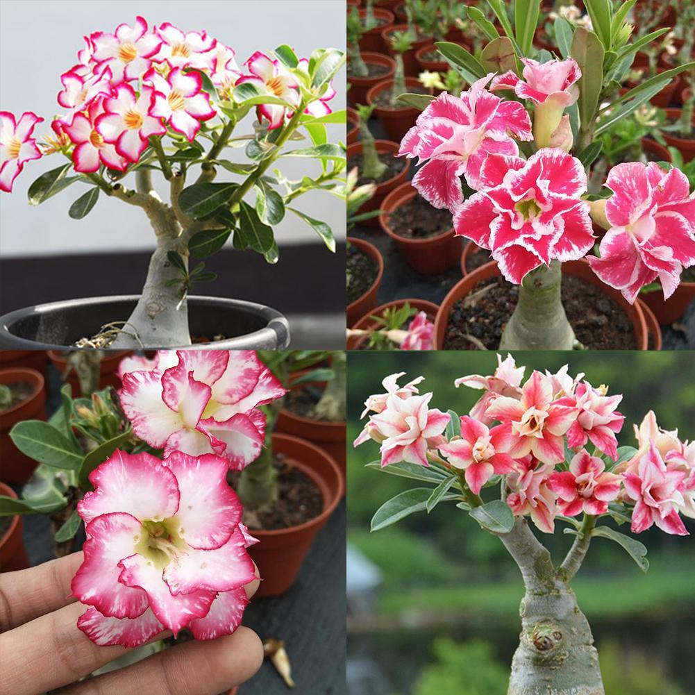10Pcs Mixed Color Desert Rose Adenium obesum Seed Indoor Beautiful Flower Set