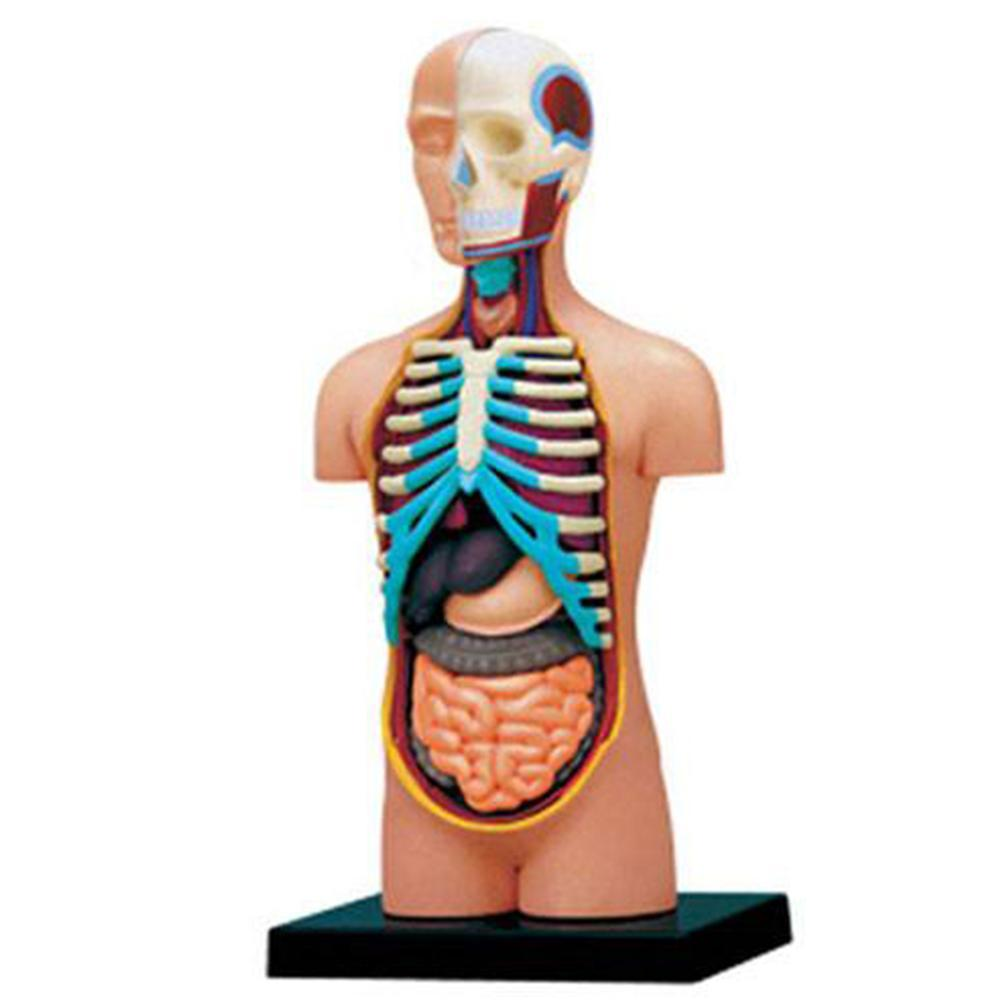 1Set menschlicher Torso-Anatomie-Körper-unterrichten Ausbildungs ...