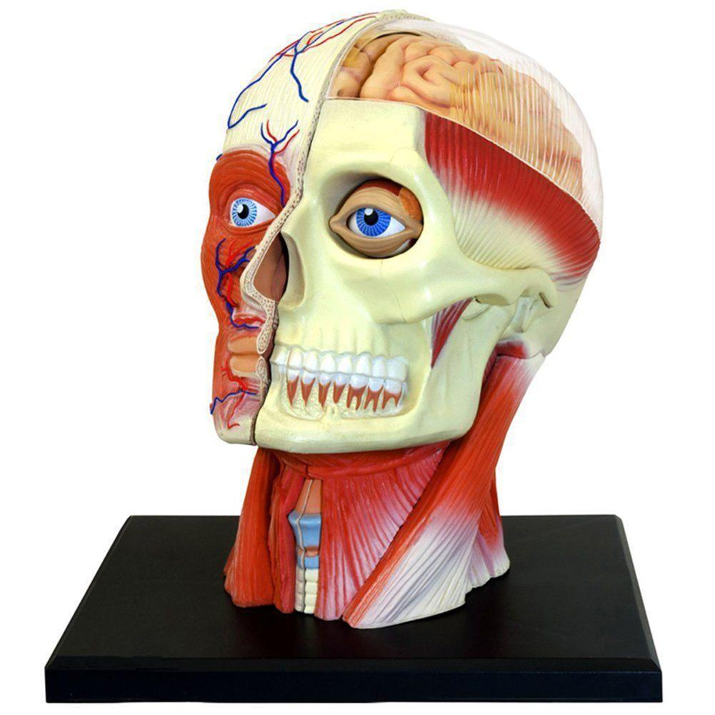 Human Head Skull Brain Anatomy Anatomical Model Medical Science Lab