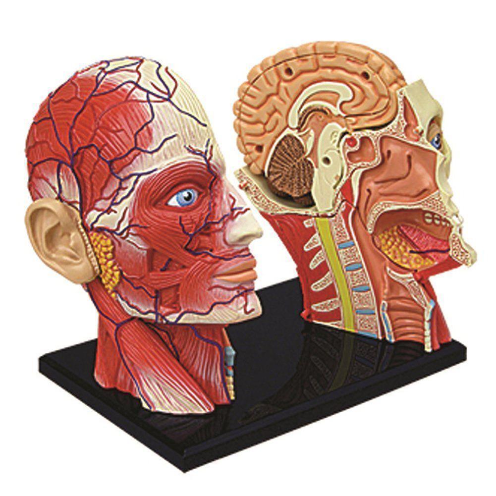 Human Head Skull Brain Anatomy Anatomical Model Medical Science Lab