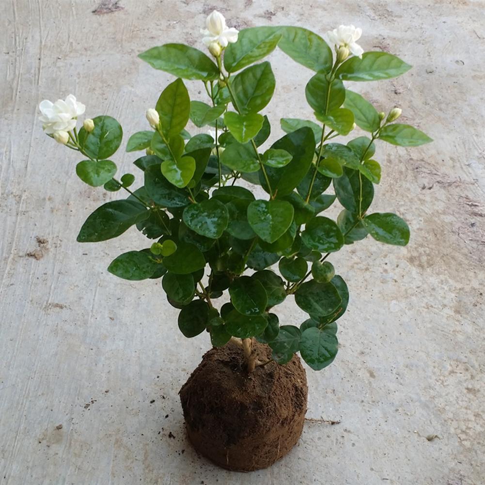 30X--seltene Nelke Samen Bonsai Dianthus Caryophyllus Blume Pflanze Haus Decor/'^