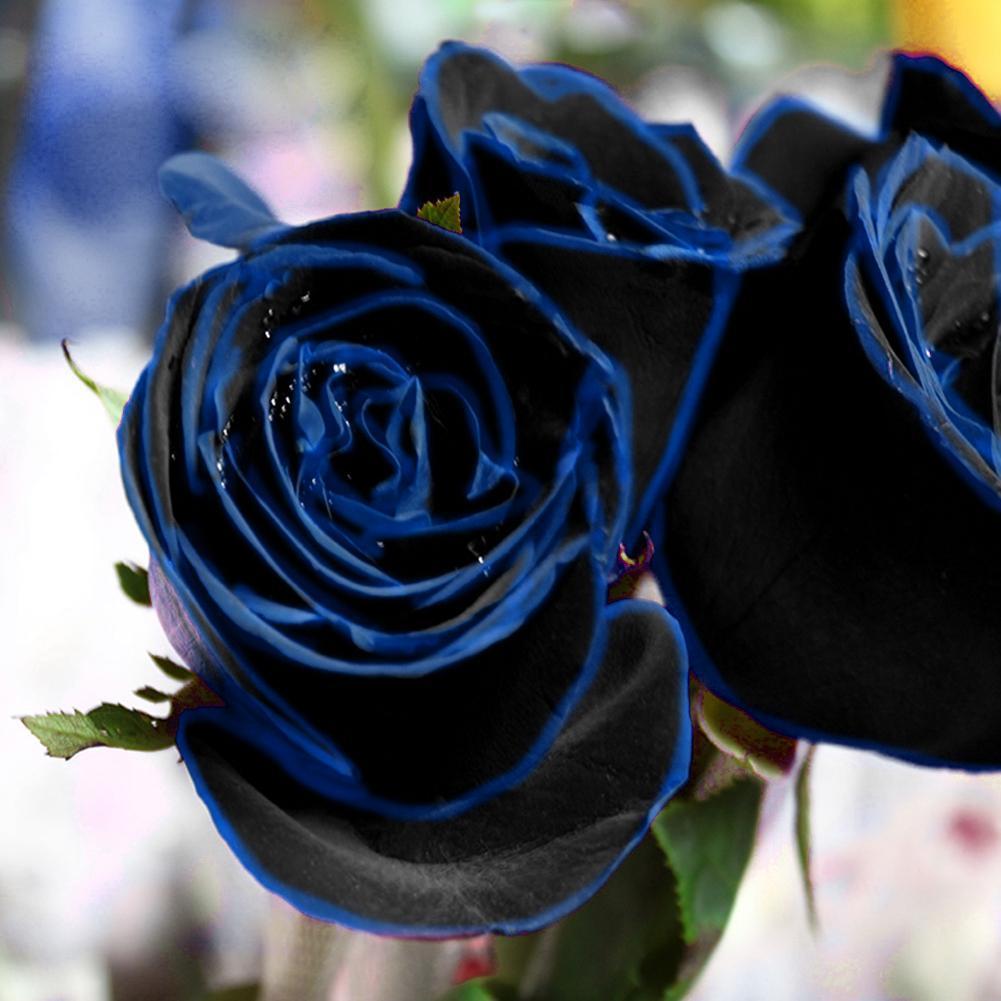 Seltene Garten Pflanzen Samen Beutel Midnight Blue Rose Blumensamen 10 Samen