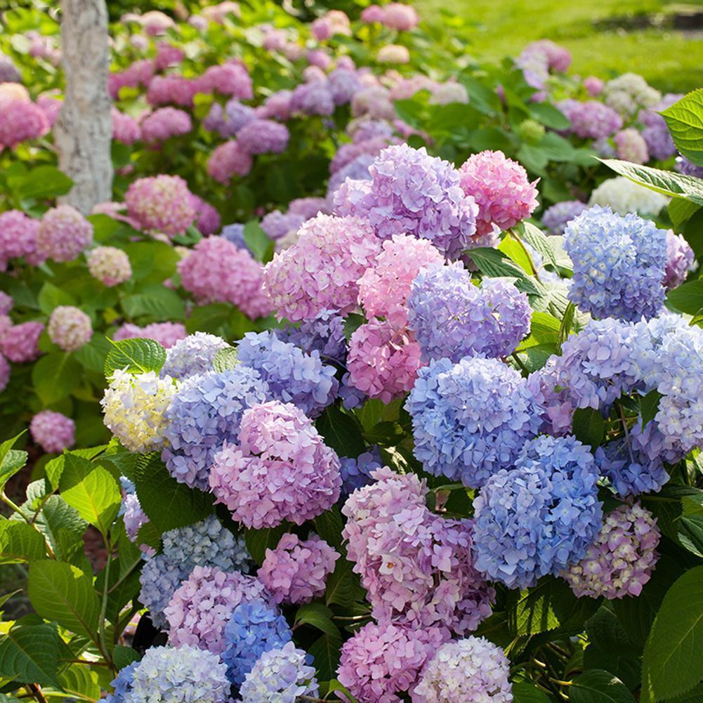 50pcs mehrjährige Samen Haus Garten weiß Hydrangea Samen leicht zu züchten Blume