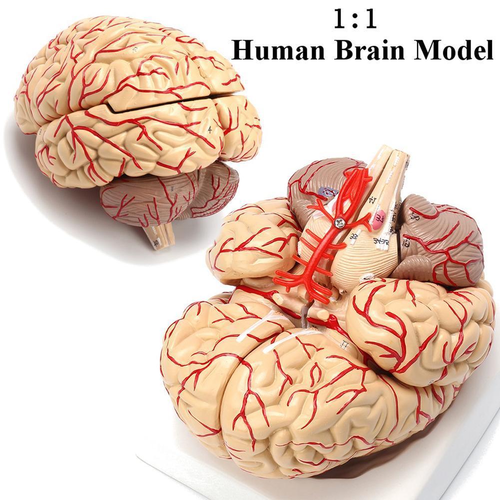 Medical Human Brain Anatomical Model Brain Brain Stem Cerebellum ...