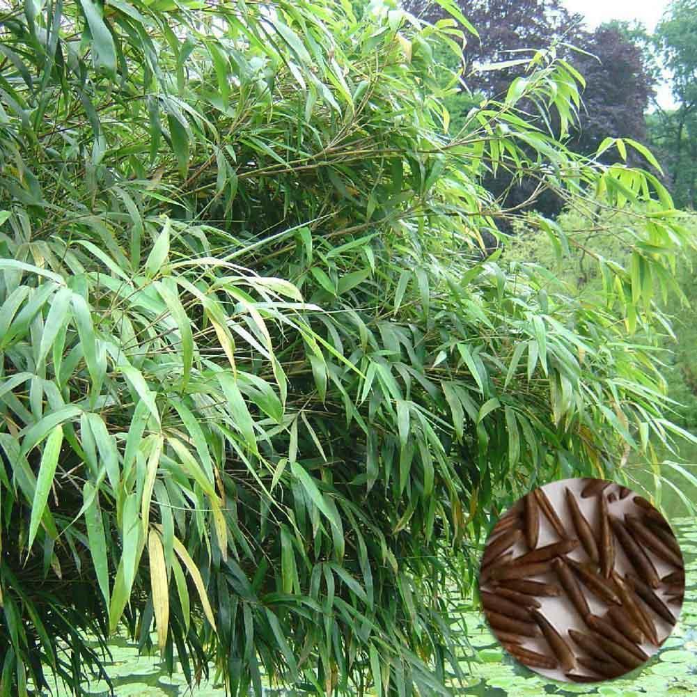 Phyllostachys Edulis 50pcs Moso Giant Bamboo Seeds Fresh