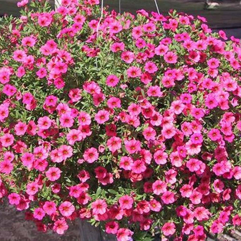 200 Stücke Blau Ringelblume Samen Frische Blumensamen Hausgarten Dekoration Pfla