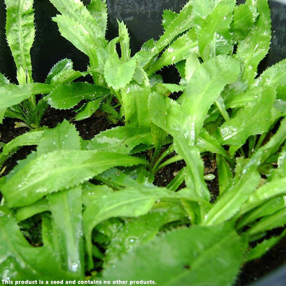 10 Pipiche CORIANDER-LIKE SEASONING! seeds