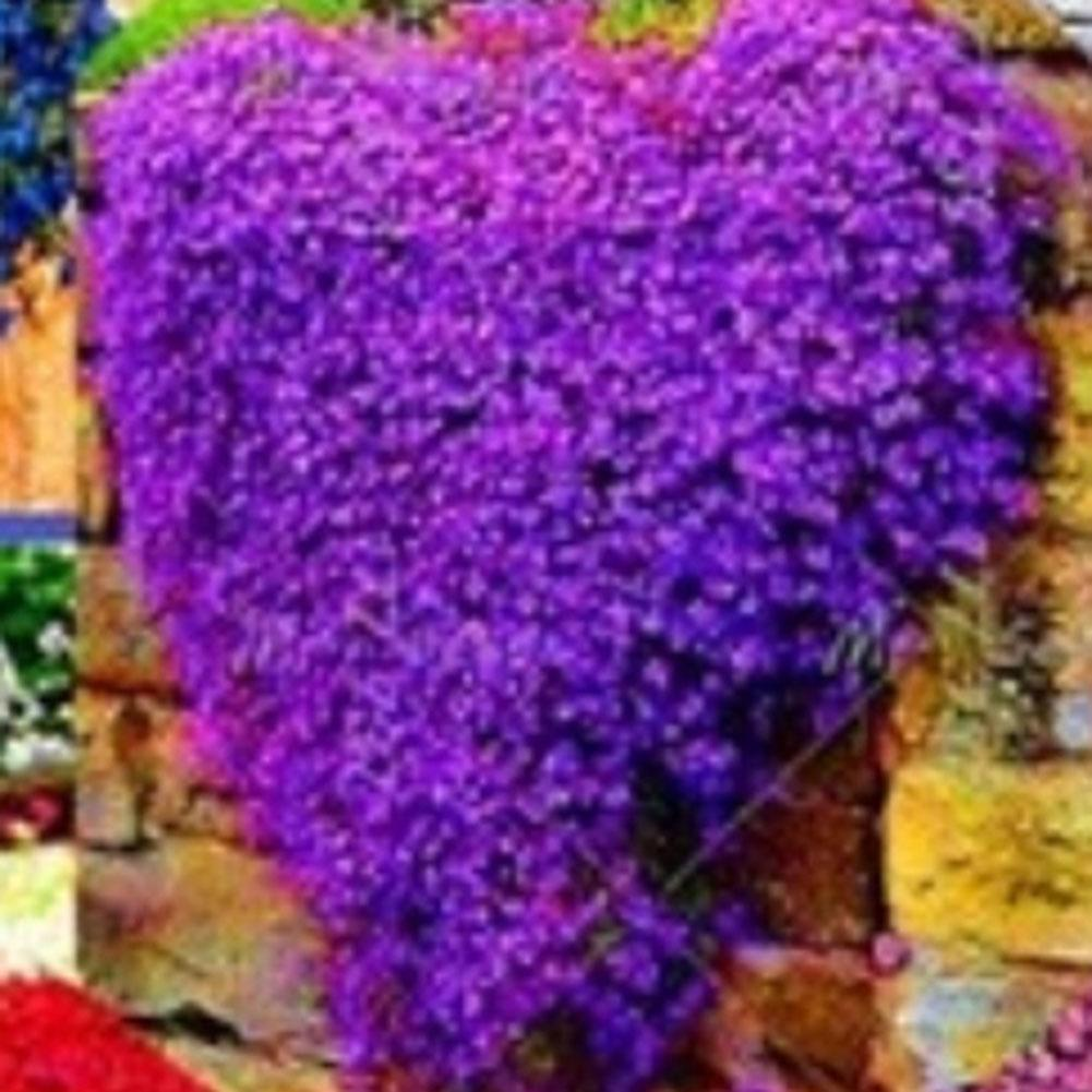 220pcs Aubrieta Deltoidea Seed Romantic Purple Mustard Home Garden Flower Seeds