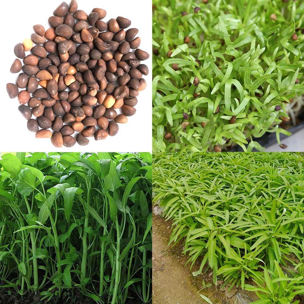 New 400PCS//Bag Vegetable Garden Seeds Water Kang Plant Leaf Green Spinach Seeds