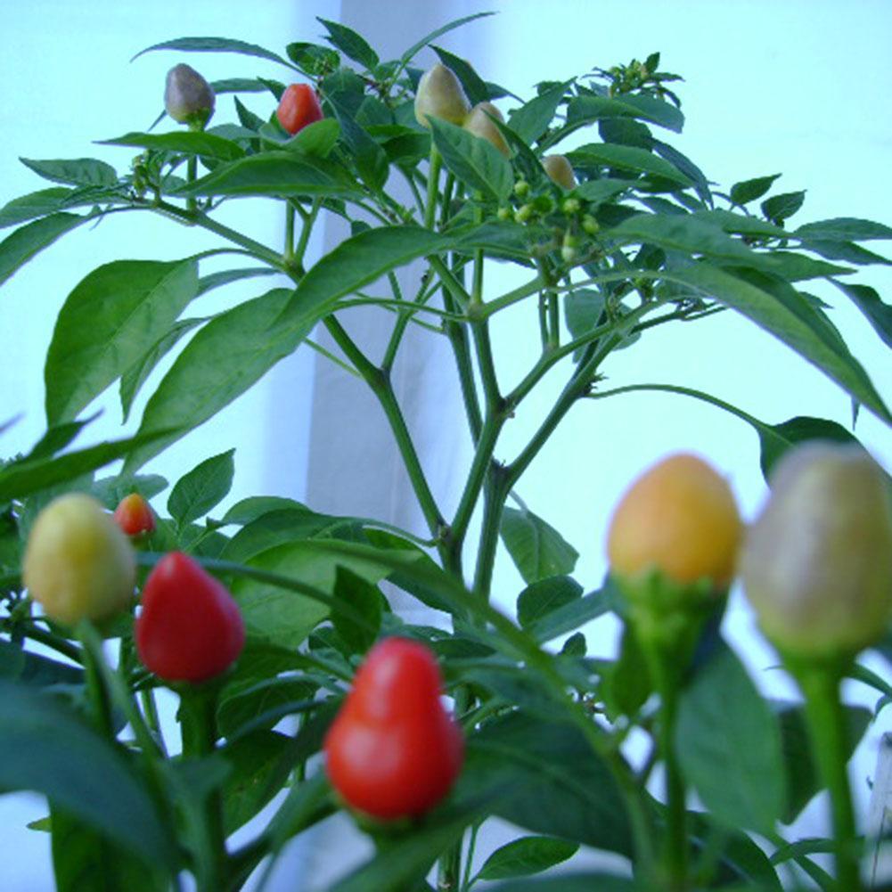 30Pcs seltene Nelke Samen Bonsai Dianthus Caryophyllus Blume Pflanze Home Decor