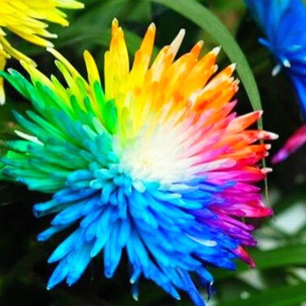 1 Pack 100 Rainbow Chrysanthemum Flower Seeds DIY Home Garden Plant Seed S097