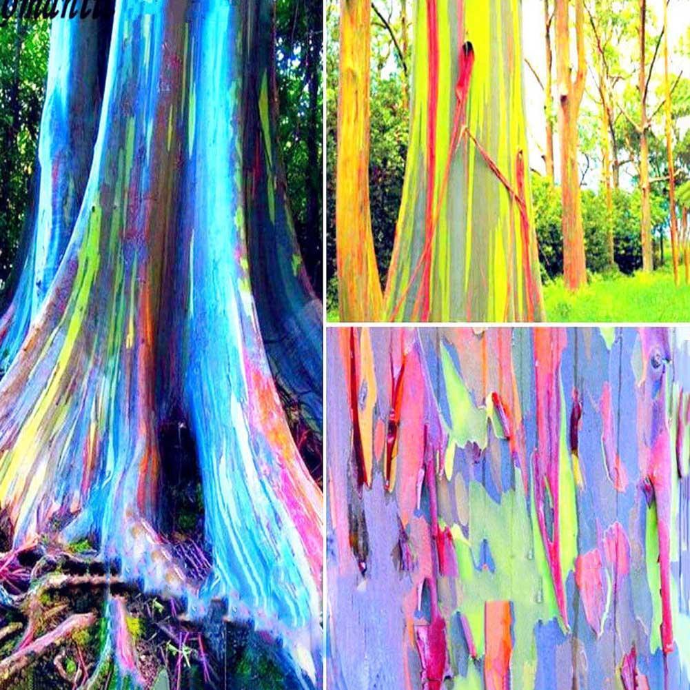 T2W6 Regenbogen Eucalyptus Deglupta Samen seltene Bonsai Baum Samen 100 teile