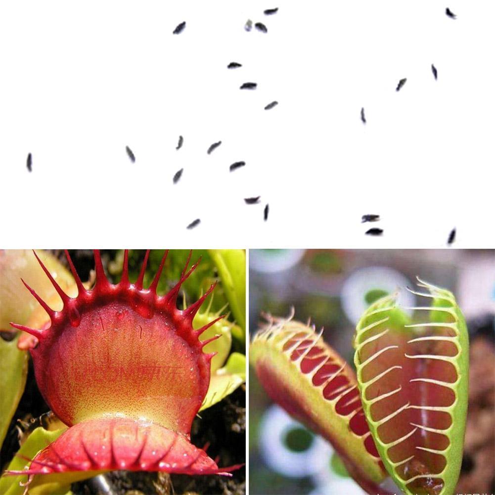 20pc Venusfliegenfalle Fleisch Fressende Muscipula Seltene Pflanzen Blumensamen