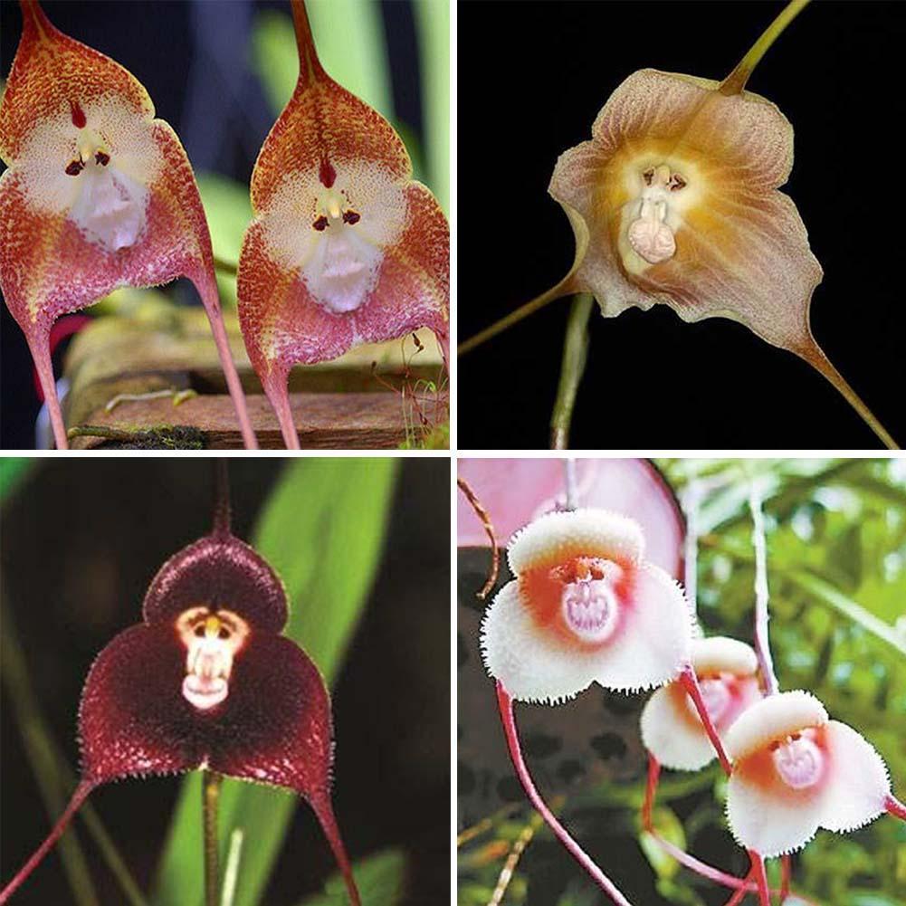10Pcs Rare Affe Gesichts Orchideensamen Schöne Pflanze Blume Hausgarten Dekor