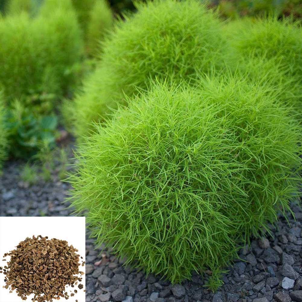 100Stück Oxalis versicolor Spiral Pflanzen Blumensamen Bonsai Seltene Blumen