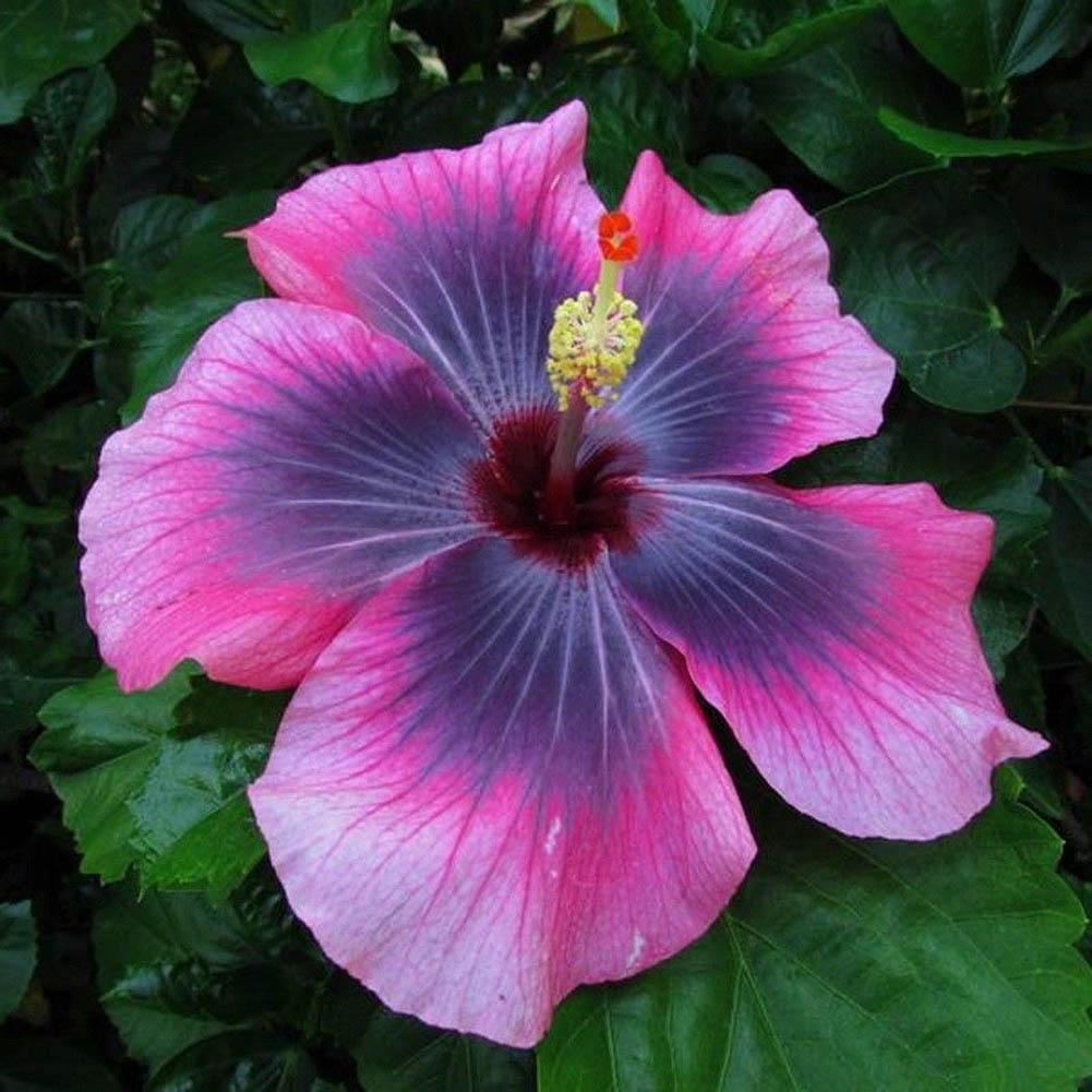 100x seltene Regenbogen Riesen Hibiskus-Samen TopfPflanzen Dauer BlumenSame O7D8