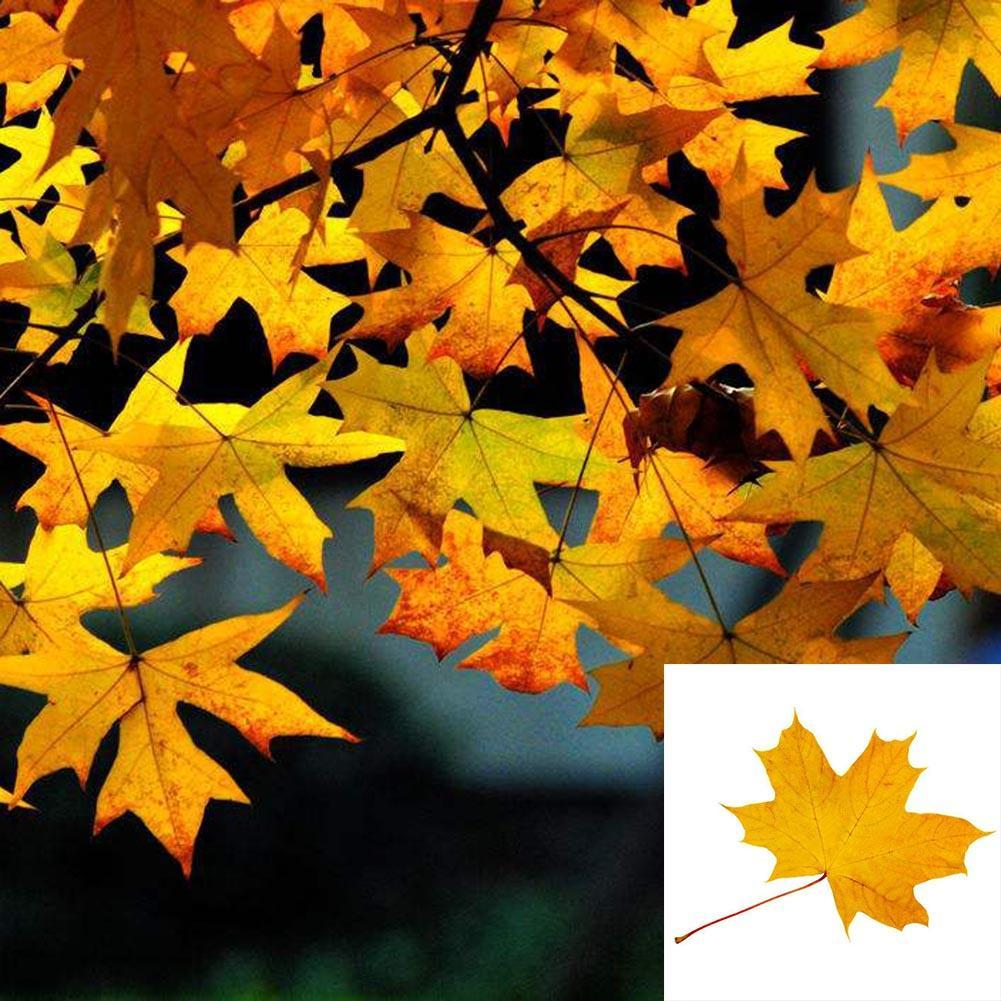 25pcs Sugar Maple Syrup Tree Native Rock Fall Color Acer Saccharum