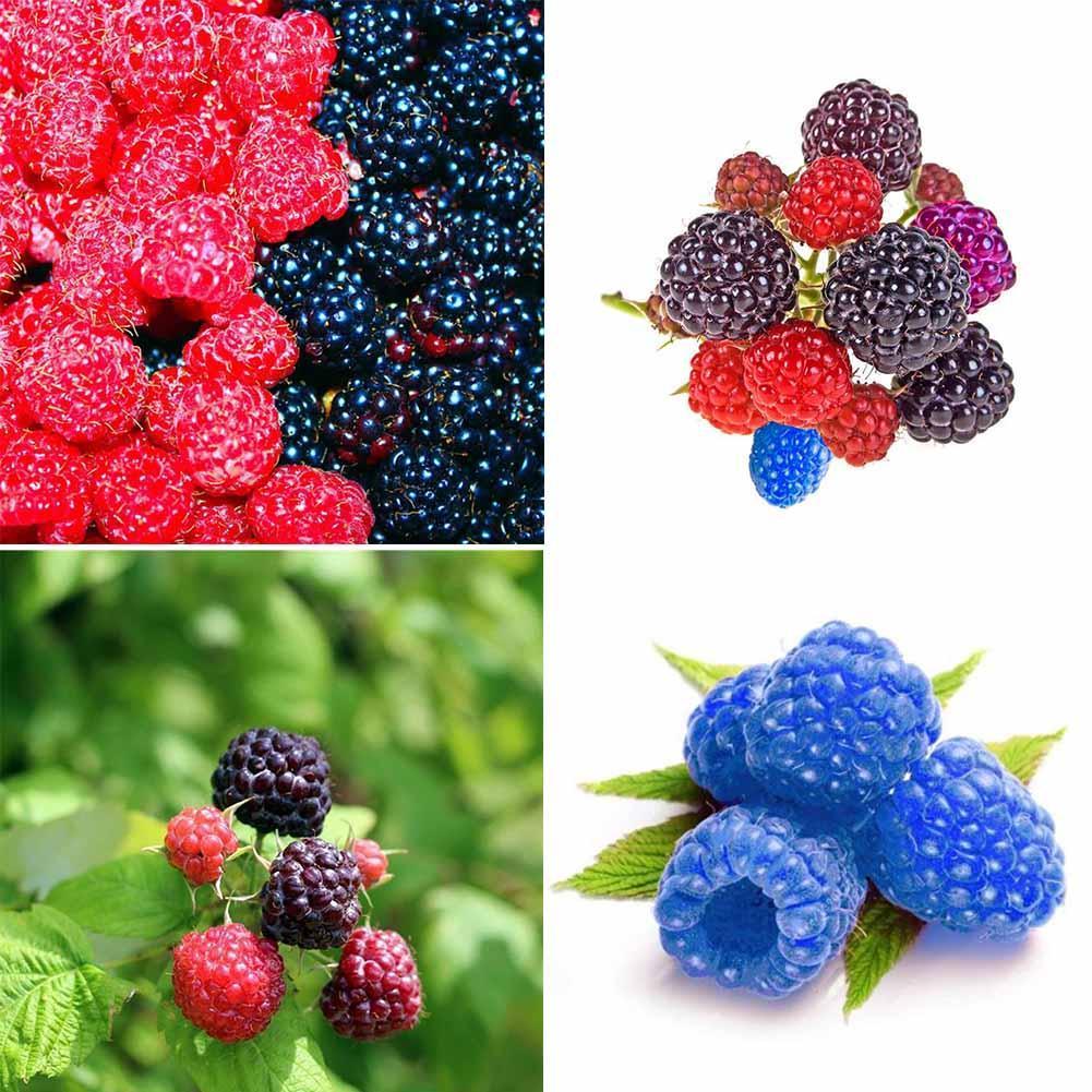 lila 1000 Stück Himbeer Kerne Frucht Samen grün schwarze Rasberry blau rot