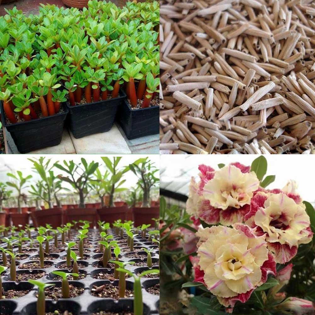 "5x Wüstenrose Blume Adenium /""PEONY/"" Bonsai Samen Hausgarten Pflanze beste"