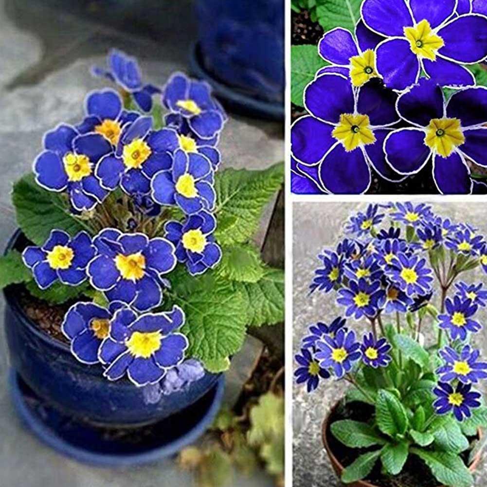 100 stücke Seltene Blaue Nachtkerzen Samen Einfach Zu Pflanzen Garten Decor