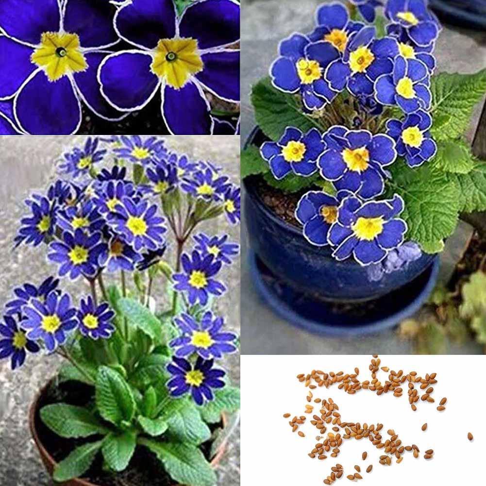 100seltenen blauen Nachtkerzensamen Einfach zu Pflanzengarten-Dekoration-Blumen!