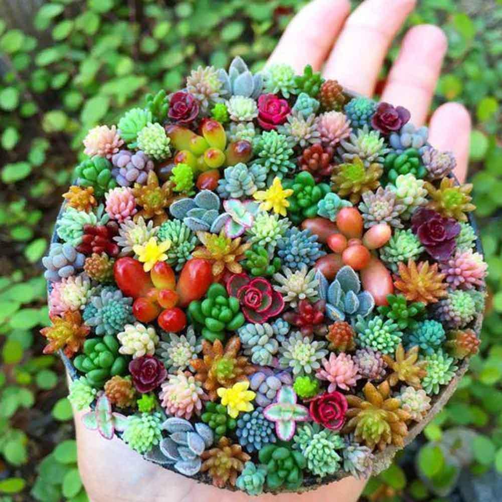 10pcs//Bag Rare Red Cactus Seeds Succulent Bonsai Plant Home Garden Décor Nice