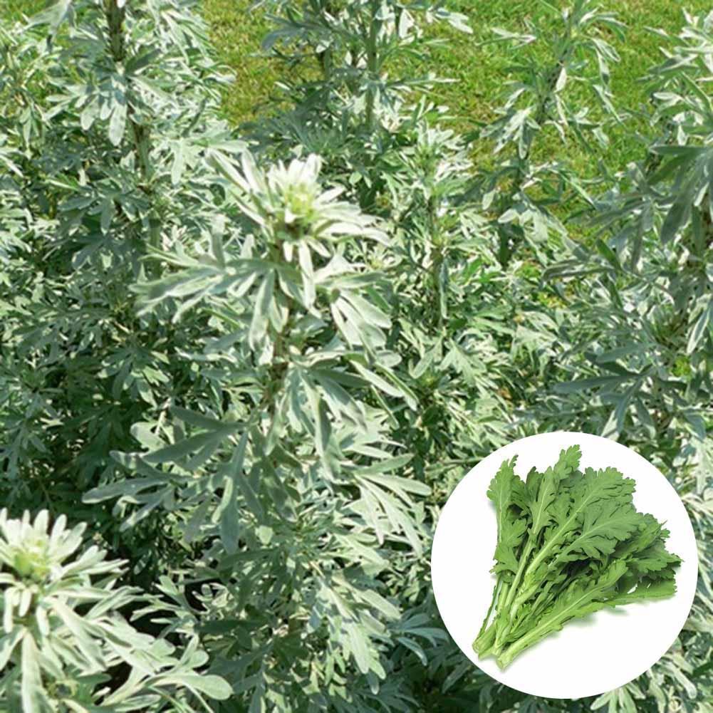 1000 Samen Absinth Pflanze Gras Gewürz