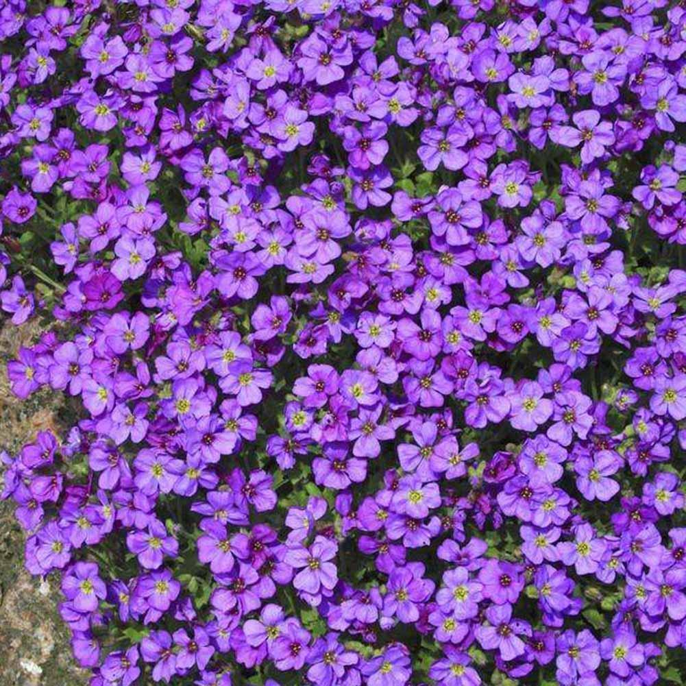 250pcs/Bag Cascade Purple Aubrieta Flower Seeds Perennial