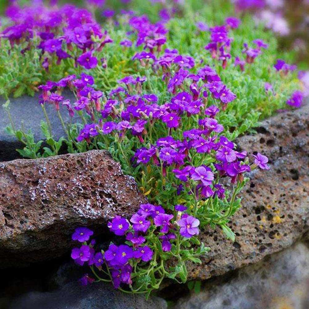 250pcs/Bag Cascade Purple Aubrieta Flower Seeds Perennial