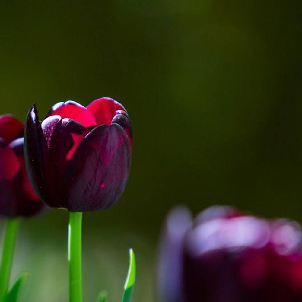 50X Schwarz Lila Tulpe Birnen Wurzel Blumen Balkon Perennial Hausgarten Anlagen