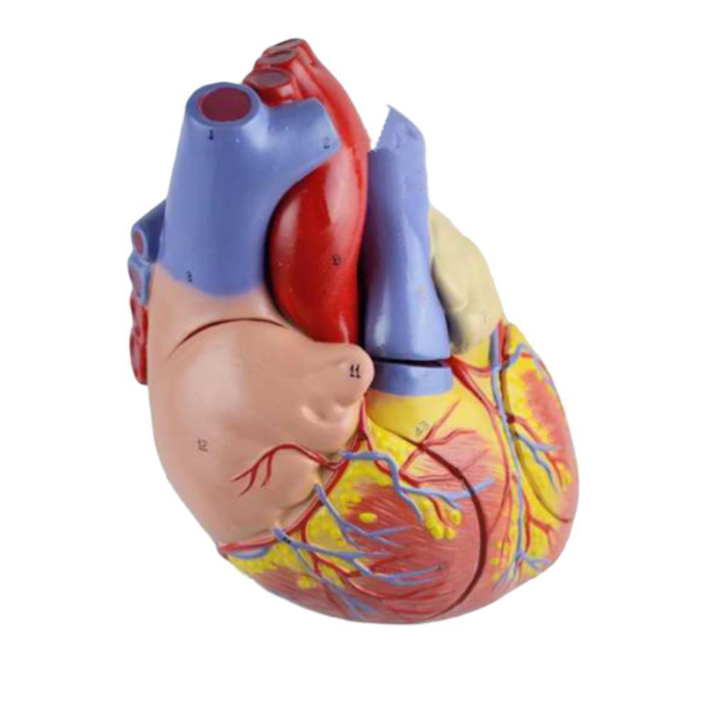 Human Heart Anatomy Anatomical Education Model Medical ...